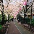 緑道公園の桜並木
