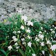 道沿いの小さな花
