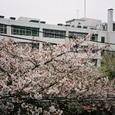 部屋の窓から城東高校 桜満開編