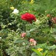 コテージ本館の前の花壇(バラの花)